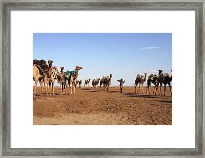 Camel Salt Train Framed Print