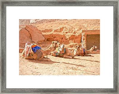 Camel Taxis  Framed Print