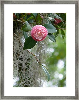 Camellia And Moss Framed Print by Jeanne  Woods