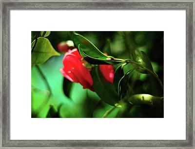 Camellia Dream Framed Print by Rebecca Sherman