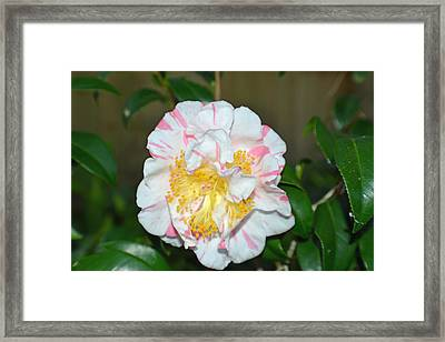 Camellia Floral Framed Print by Aimee L Maher Photography and Art Visit ALMGallerydotcom