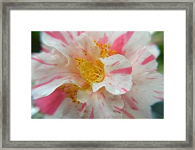 Camellia Flower Framed Print by Aimee L Maher Photography and Art Visit ALMGallerydotcom