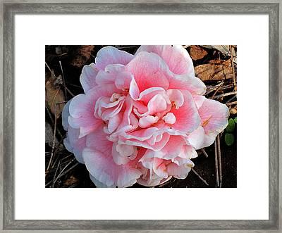 Camellia Flower Framed Print by Susanne Van Hulst