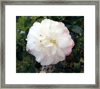 Framed Print featuring the photograph Camellia by Frederic Kohli