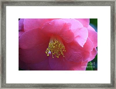 Camellia Japonica Framed Print by Louise Heusinkveld