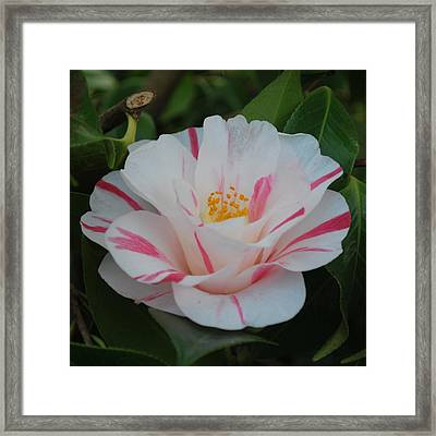 Camellia Framed Print by Linda Sramek