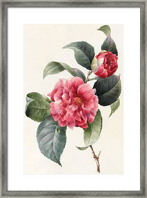 Camellia Framed Print by Louise D'Orleans