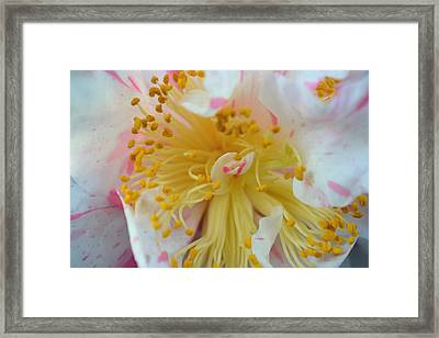 Camellia Macro Framed Print by Aimee L Maher Photography and Art Visit ALMGallerydotcom