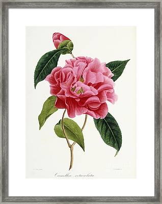 Camellia Reticulata Framed Print by French School