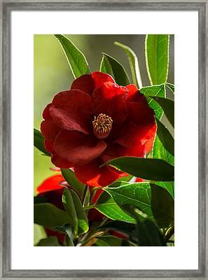 Camellia Royal Velvet Framed Print