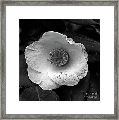 Camellia Framed Print by Skip Willits