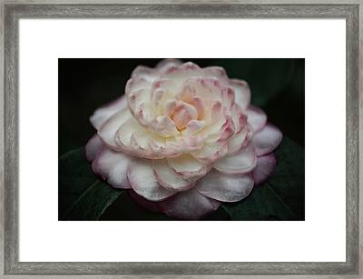 Camellia White And Pink Framed Print