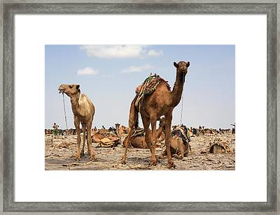 Camels Of The Afar  Framed Print by Aidan Moran