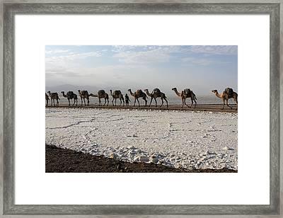 Camels Of The Salt Flats Framed Print by Aidan Moran