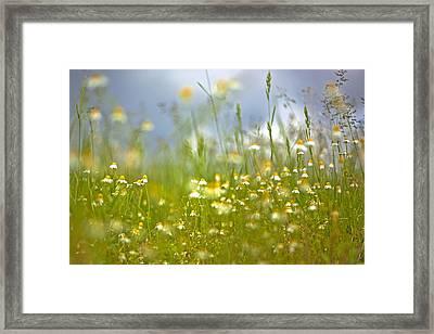 Camomile Framed Print