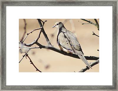 Camouflaged Mourning Dove Framed Print