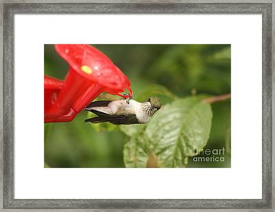 Can I Help You Hummingbird  Framed Print
