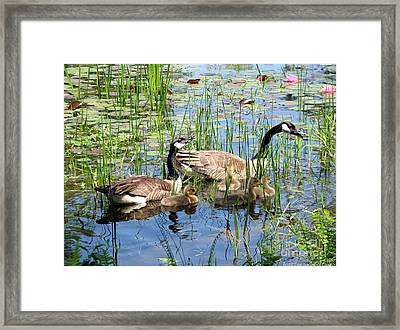 Canada Geese Family On Lily Pond Framed Print