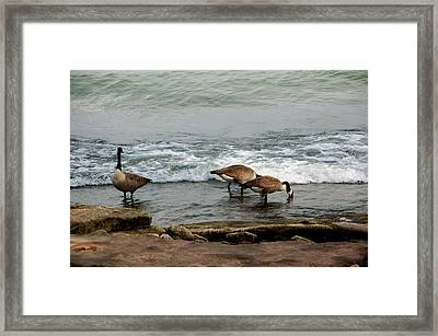 Framed Print featuring the photograph Canada Geese Feeding by Kathleen Stephens