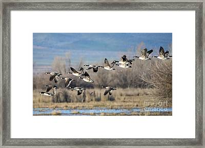 Canada  Geese Flock Framed Print by Mike Dawson