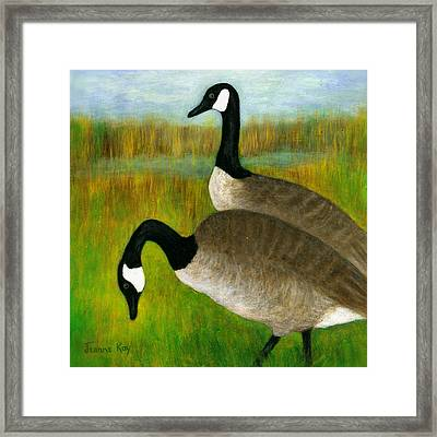 Canada Geese Grazing  Framed Print