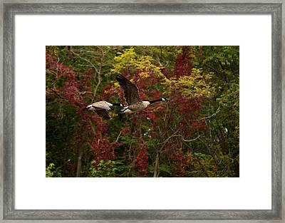 Framed Print featuring the photograph Canada Geese In Autumn by Angel Cher