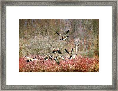Canada Geese In Flight Framed Print