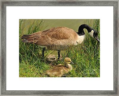 Canada Geese Parent And Child  Framed Print by Merrimon Crawford