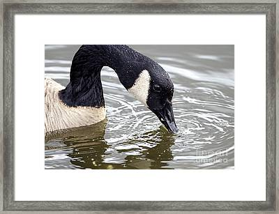Canada Goose Eating Bread Framed Print