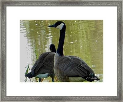 Canada Goose Edge Of Pond Framed Print