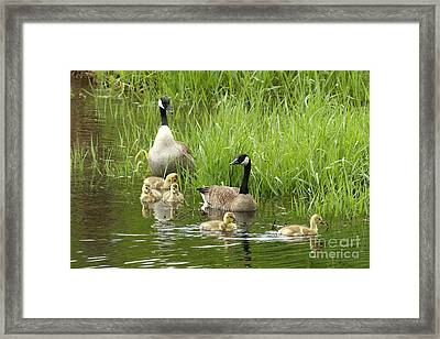 Canada Goose Family 1 Framed Print by Sharon Talson