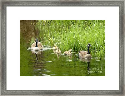 Canada Goose Family 2 Framed Print by Sharon Talson
