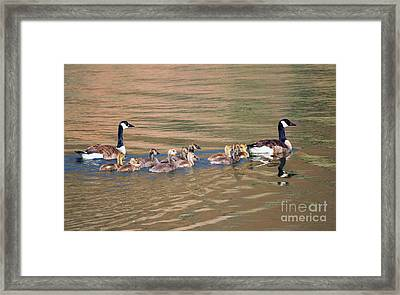 Canada Goose Family Framed Print by Mike Dawson