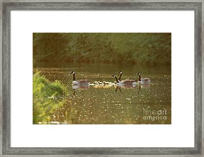 Framed Print featuring the photograph Canada Goose Geese Family - Branta Canadensis - With Goslings On A by Paul Farnfield