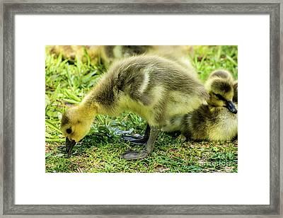 Canada Goose Gosling Framed Print by Gary Whitton