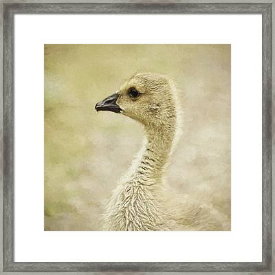 Canada Goose Gosling Photo Art  Square Framed Print