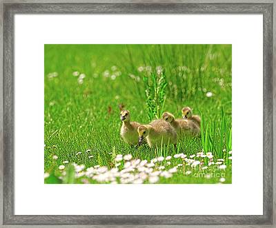 Framed Print featuring the photograph Canada Goose Goslings In A Field Of Daisies by Sharon Talson