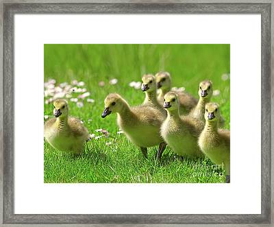 Canada Goose Goslings Framed Print by Sharon Talson