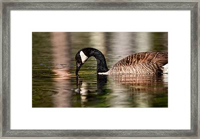 Canada Goose Reflections Framed Print