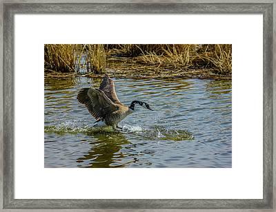 Canada Goose Takes Flight, Frank Lake, Alberta, Canada Framed Print