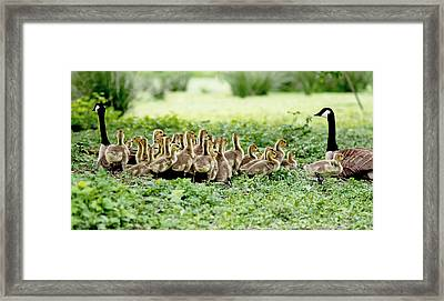 Framed Print featuring the photograph Canada Gosling Daycare by Rona Black