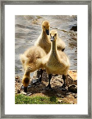 Framed Print featuring the photograph Canada Goslings by Kathleen Stephens