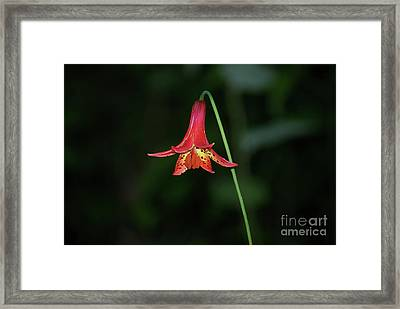 Canada Lily Framed Print