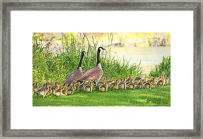 Canadian Geese Family Framed Print by Jennie Marie Schell