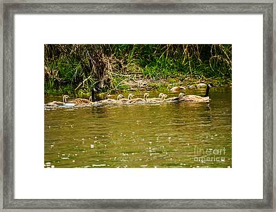 Canadian Geese Family Framed Print by Robert Bales