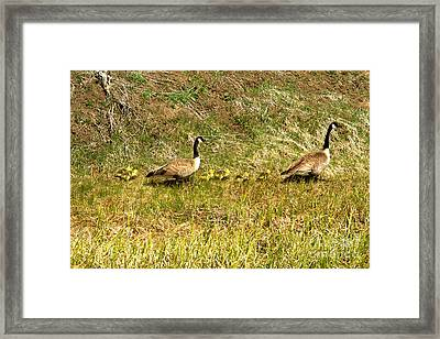 Canadian Geese Family Stroll Framed Print