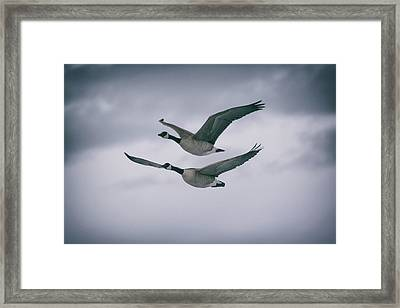 Canadian Geese In Flight Framed Print by Jason Coward