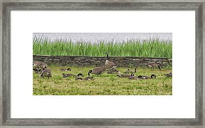 Canadian Geese Framed Print by Martin Newman