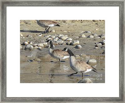 Canadian Geese Stepping Out In New Mexico Framed Print