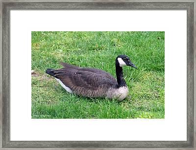 Canadian Geese Framed Print by Suhas Tavkar